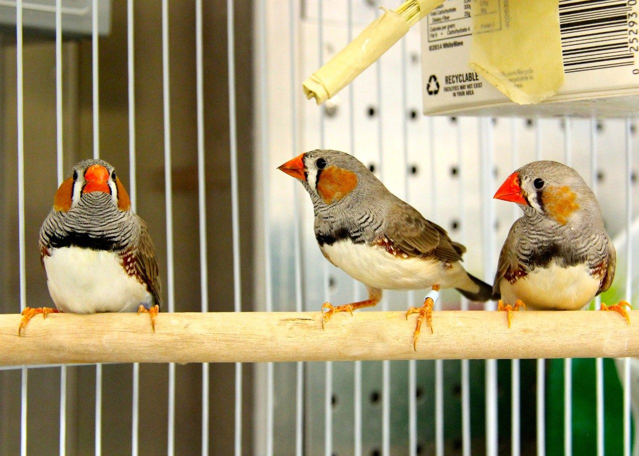 Zebra finches are highly sociable birds that live in a range of flock sizes, from pairs and small family groups (about 2 to 4 birds) to large aggregate flocks (up to 100 birds). Photo by Gloria Schoenholtz.