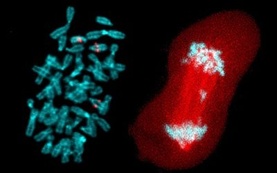 At left, three copies of chromosome 13, are labeled in red. At right, during one of the last steps of cell division, known as anaphase, chromosomes (in blue) move to opposite ends of the cell (in red) in preparation for it to split in two. But here an extra chromosome lags in the middle. Increased rates of these kinds of mistakes may make cancer cells more resistant to treatment. Photo courtesy of Elsa Logarinho.