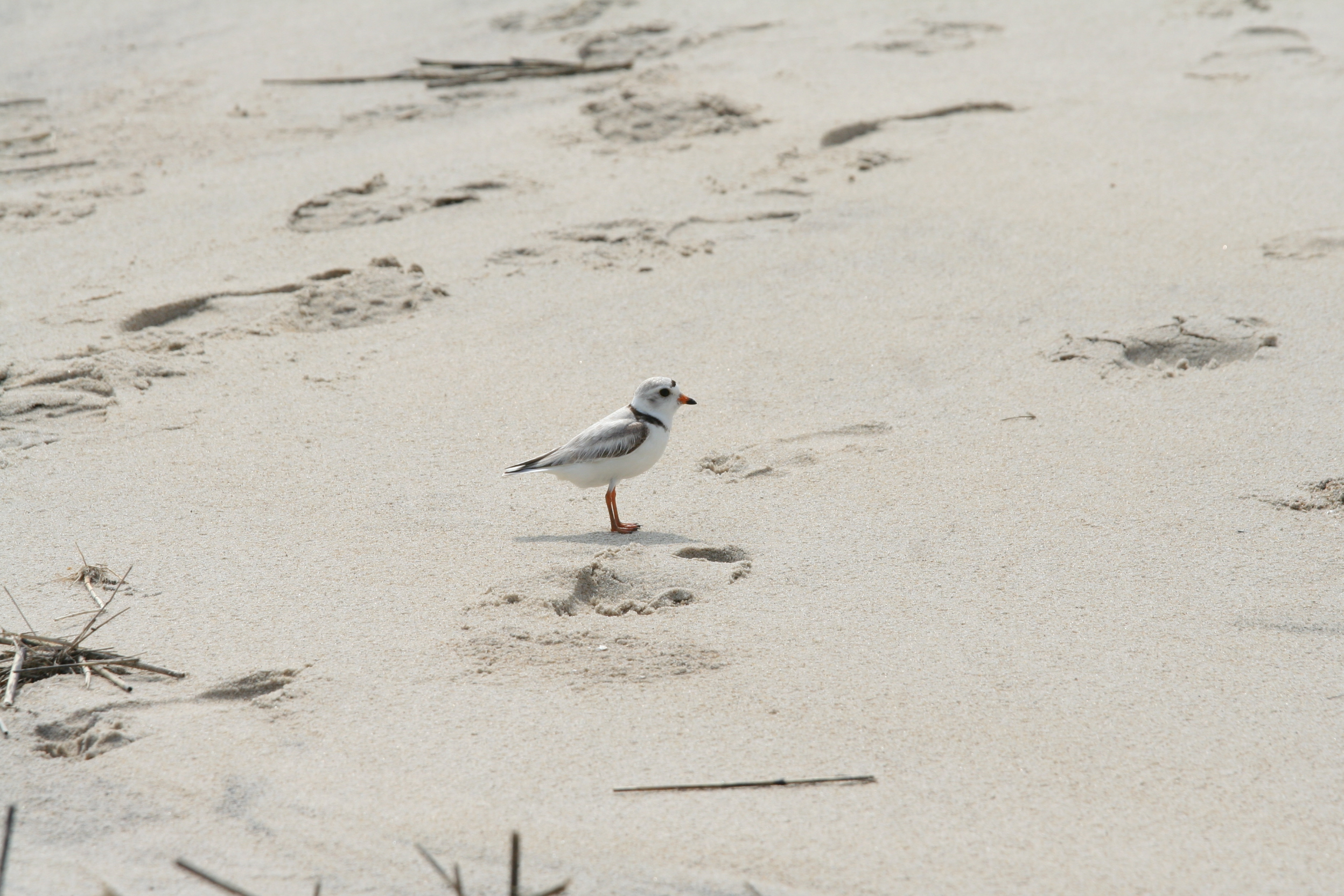 A piping plover on a beach