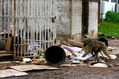 A baboon with her baby picking through trash