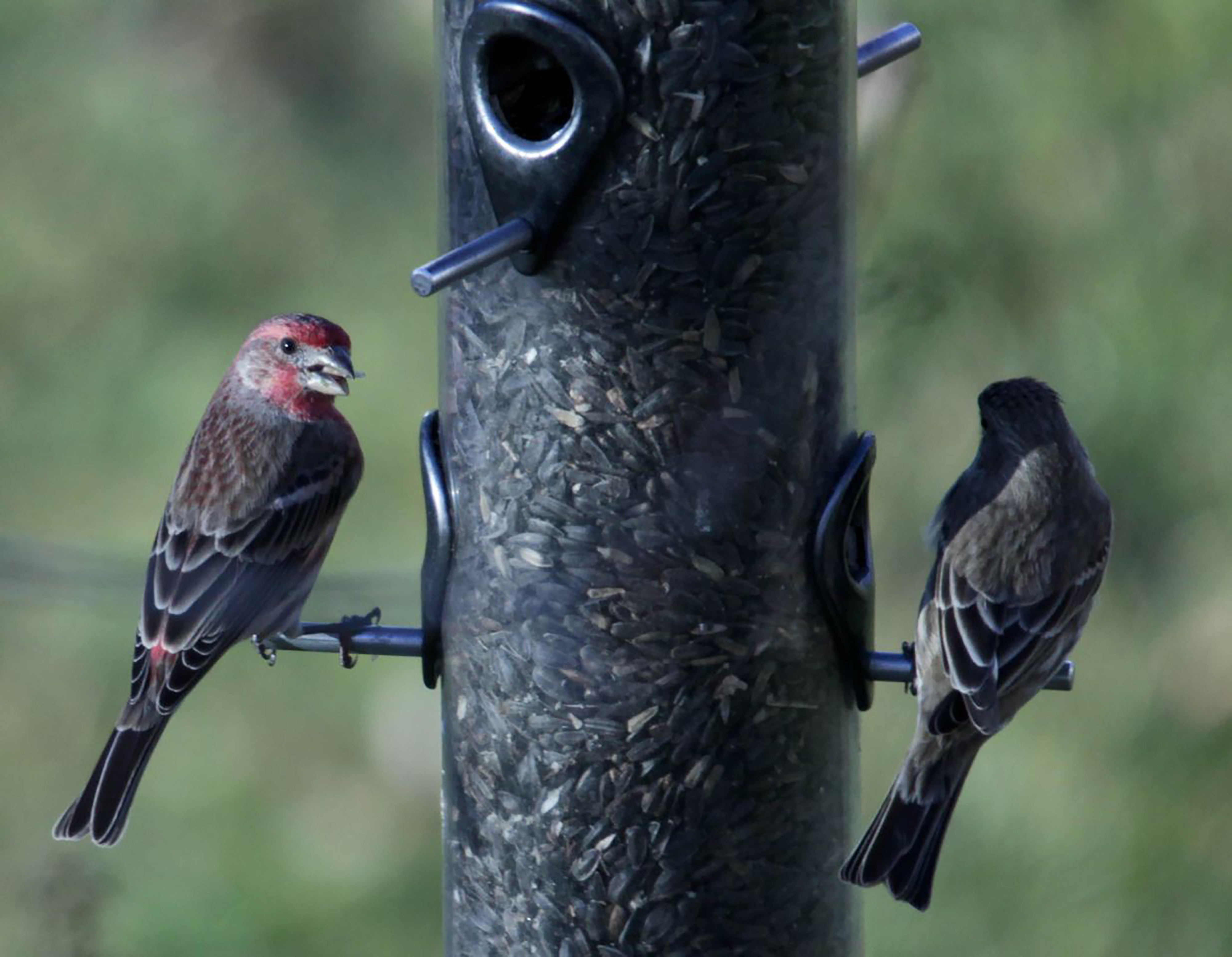birds that eat at feeders more likely to get sick spread disease