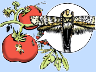 Although it is no bigger than an eyelash, the South American tomato leafminer has caused tremendous damage to tomato fields around the globe. (Illustration by Steven White)