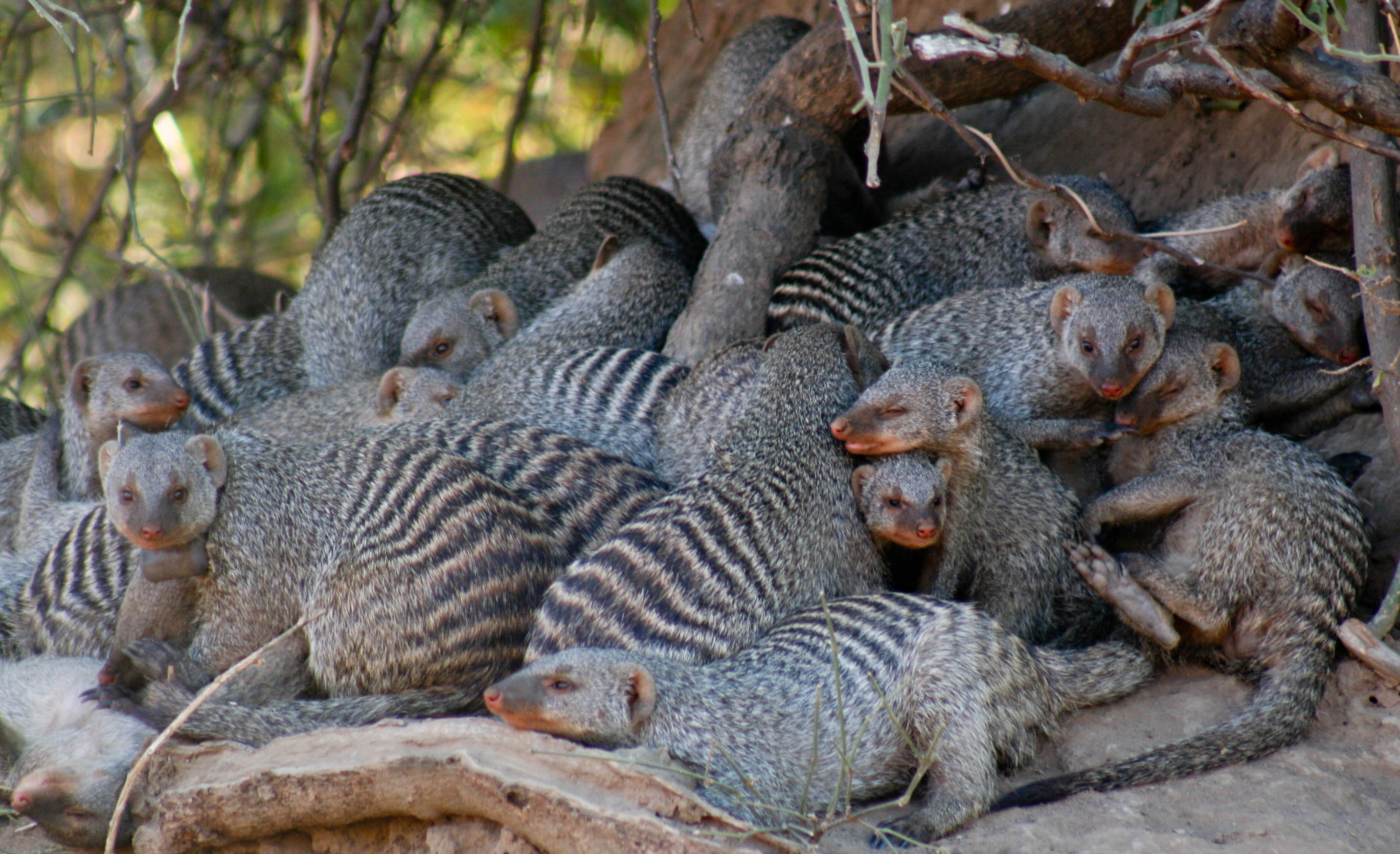 Group of banded mongoose
