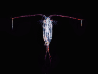 Copepods are small teardrop-shaped plankton. Certain species can jump out of the water to escape predators, while others can't. Creative Commons/Wikipedia.