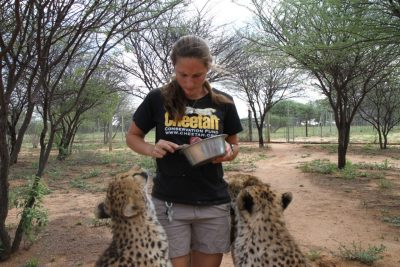 A cheetah nurse at the Cheetah Conservation Fund just outside of Otjiwarongo, Namibia, feeds two of the Ambassardor cheetahs at the center.  Photo by Lindsay Key.