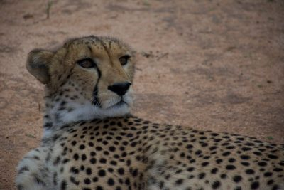 The Cheetah Conservation Fund, where Millican stays when he is conducting research in Namibia, is home to four resident ambassador cheetahs, and multiple others that are rehabilitated and returned to the wild.  The goal of the organization is to save the cheetah in the wild by operating a set of integrated programs (including education and outreach) aimed at addressing the principle threats to the cheetah. Photo by Jelena Djakovic.