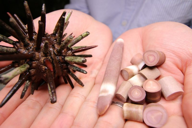Sea urchin spines
