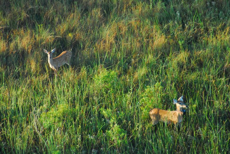 Overhead view of two deer standing in a meadow of tall grass.