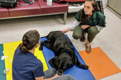 Saint, a retired service dog, receives acupuncture during physical rehabilitation at the Virginia-Maryland College of Veterinary Medicine's Veterinary Teaching Hospital