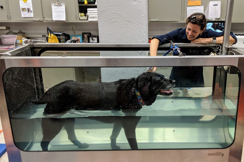 Saint, a retired service dog, participates in physical rehabilitation at the Virginia-Maryland College of Veterinary Medicine's Veterinary Teaching Hospital