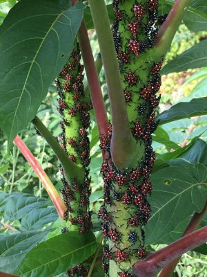 red spotted 4th instar spotted lanternflies and black and white spotted 3rd instar spotted lanternflies grouped on green stem of tree of heaven