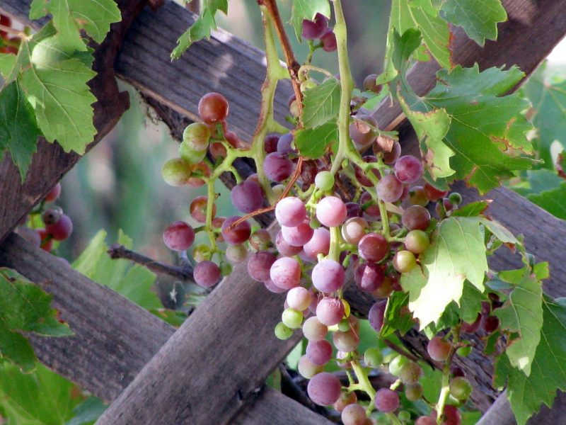 Grapes growing in a vineyard.