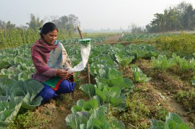 A woman checks a pheromone trap in a cabbage field near Banke, Nepal.