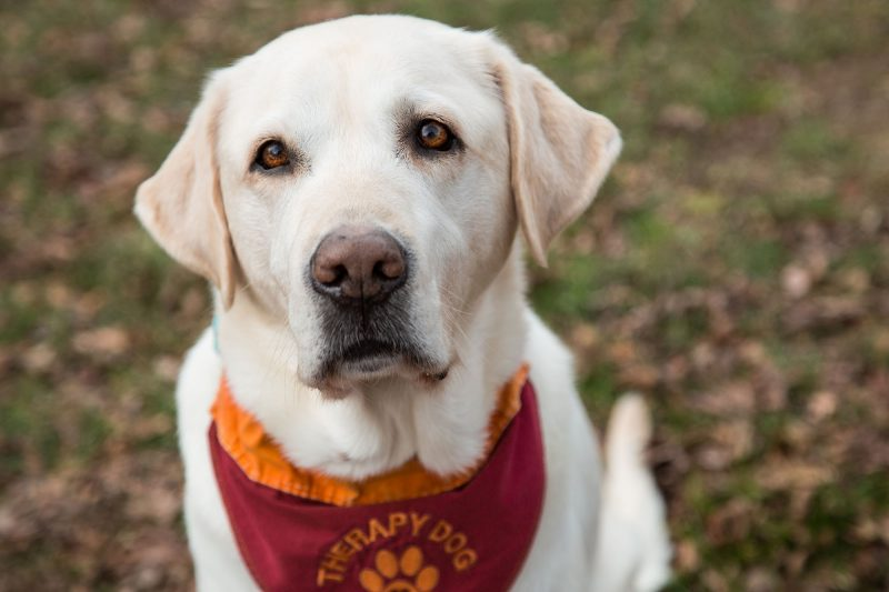 Moose, therapy dog for Cook Counseling Center at Virginia Tech
