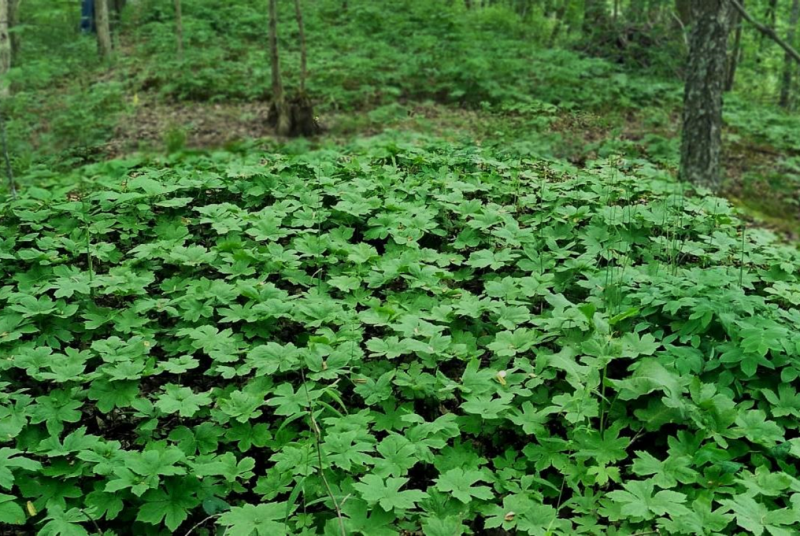 A close-up view of a bed of goldenseal plants