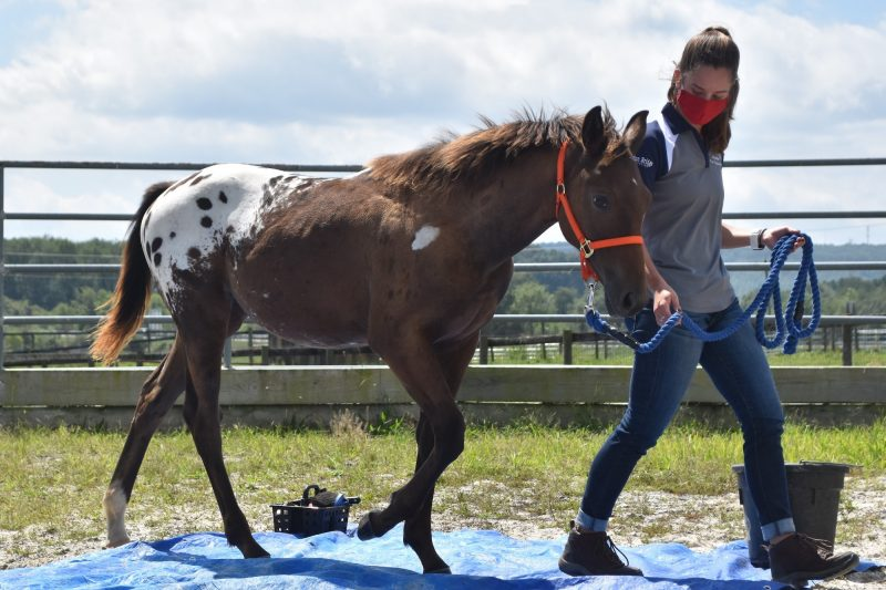 "VT WapsDoubleTrouble, or ""Rory,"" practices walking across a tarp with her student handler, Amelia Young, during an Equine Youngstock Training & Marketing lab"