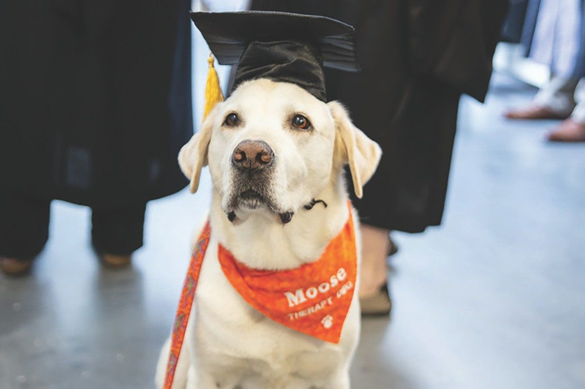 Moose, a yellow lab and therapy dog, seen wearing a graduation cap