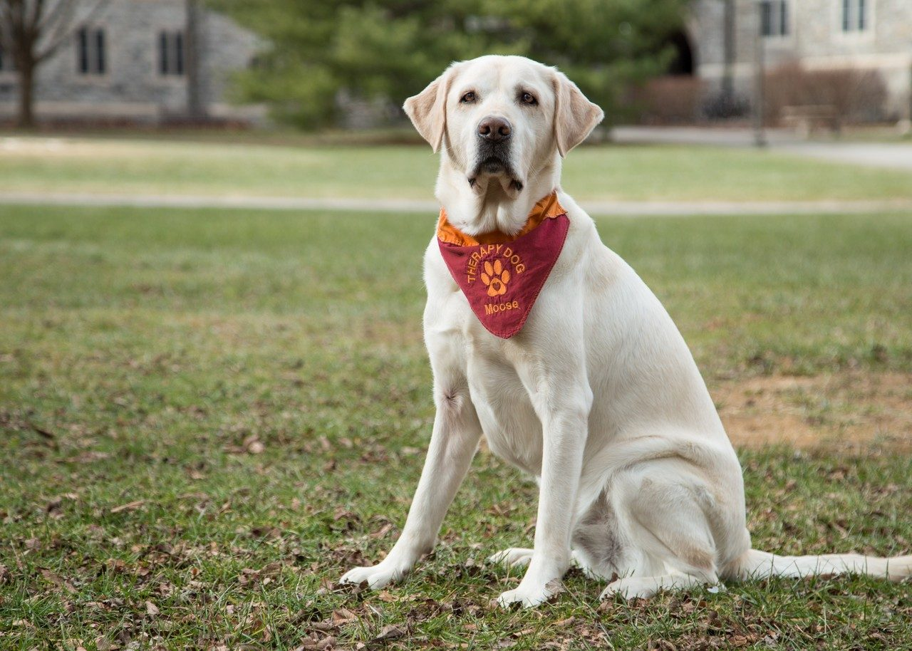 Moose, a yellow lab and therapy dog, poses.