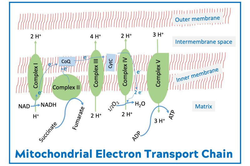 Figure 3. The food we eat and the air we breathe are used for ATP generation by the electron transport chain at the inner membrane of mitochondria.